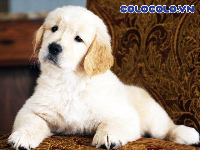 Chó rụng lông