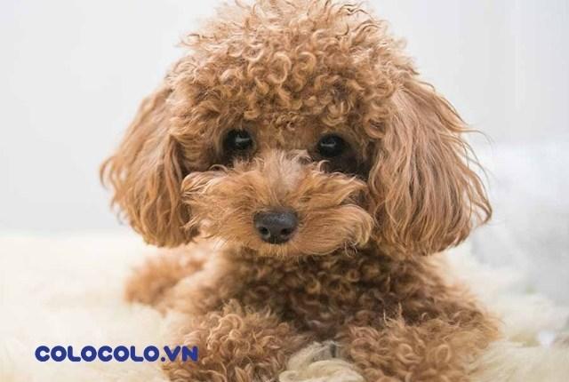 chó poodle có rụng lông không