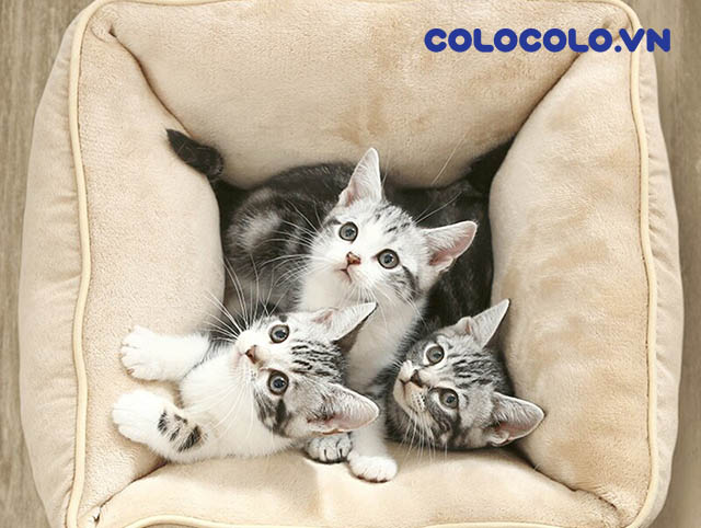 nuôi mèo cần gì