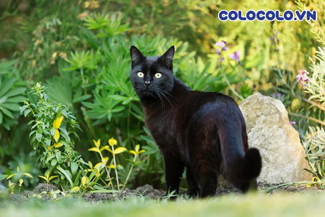 nuôi mèo đen